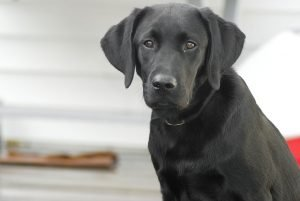 labrador_retriever_black_dog