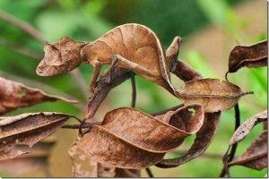 satanic_leaf_tailed_gecko
