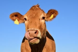 cow_licking_booger